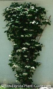 white bleeding heart vine on a trellis