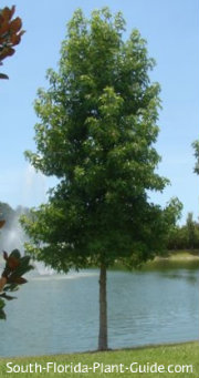 young Florida maple tree by a pond