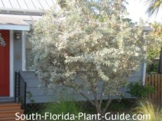 silver buttonwood tree