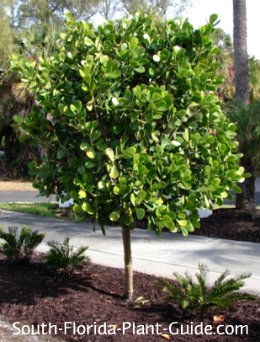 clusia rosea tree