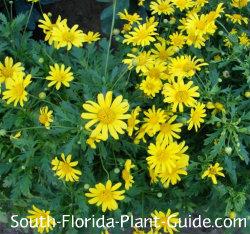 yellow bush daisy flowers