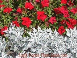 petunias and dusty miller