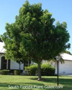 weeping podocarpus tree