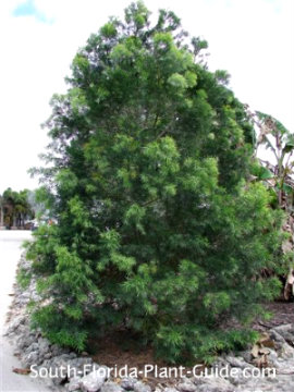 young weeping podocarpus full to the ground