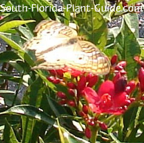 butterfly on jatropha flowers