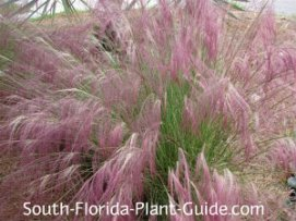 Muhly grass with pink plumes