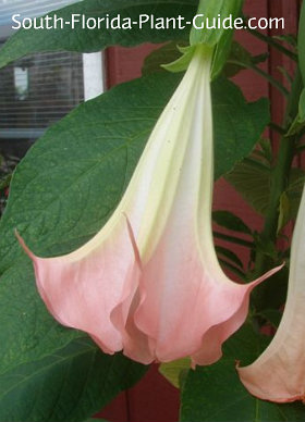 pink angel's trumpet flower