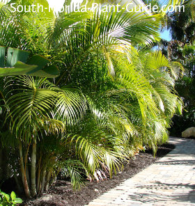 areca palms along a walkway