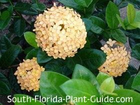 maui yellow ixora flower
