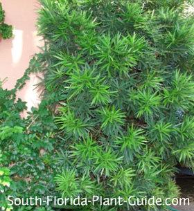 podocarpus as an accent plant