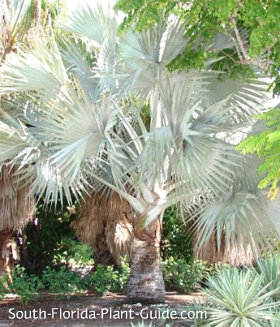 silver bismarck palm with distinctly whiter color