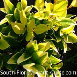 gold-tip ligustrum leaf detail