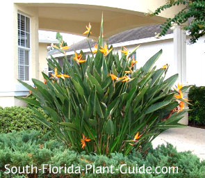 orange bird of paradise in a home landscape