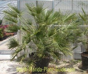 European fan palm in 25-gallon pot