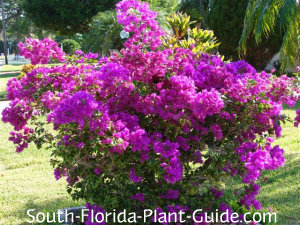 young purple bougainvillea bush