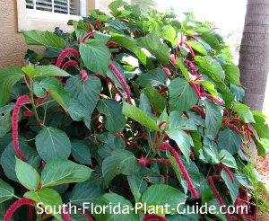 chenille plant as a foundation shrub