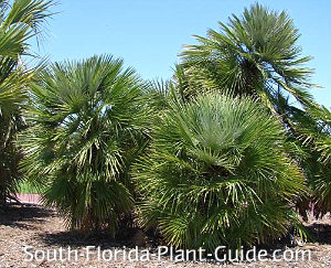two mature European fan palms