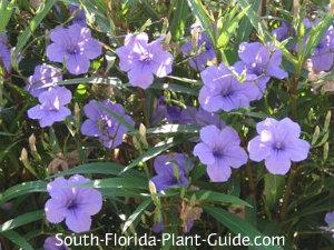 purple ruella flowers
