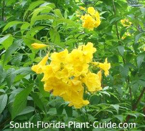 yellow elder flowers