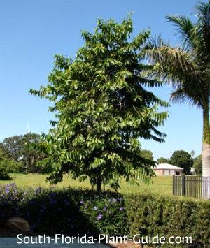 young ylangylang-tree