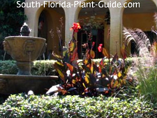 dark foliage cannas in front of a house