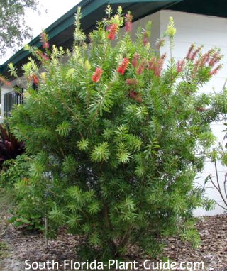 bottlebrush bush starting to bloom