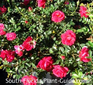 red drift rose flowers