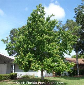 Florida maple tree in yard