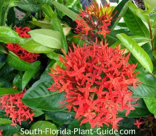 Super King ixora flowers