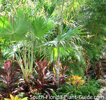 Tropical garden with ferns, cordylines, crotons and palms