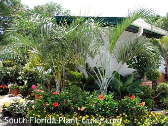 buccaneer palms