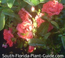 coral drift rose flowers