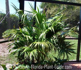 thatch palm in a pool cage