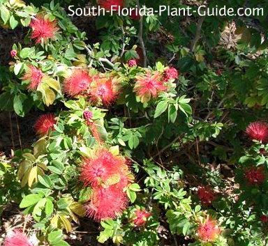 dwarf powderpuff flowers and buds