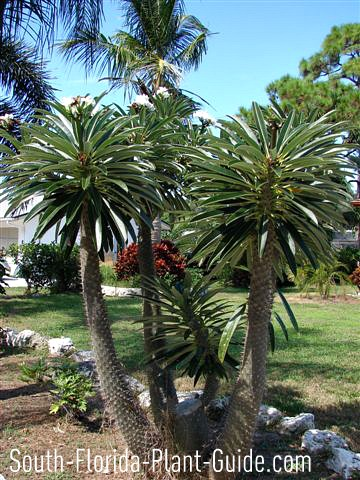 Madagascar palms in a group planting