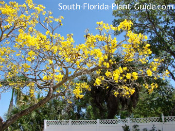 Gold Tree tabebuia in bloom