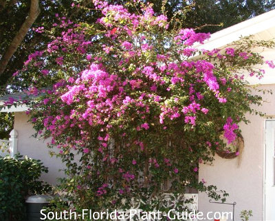 Large purple bougainvillea on side of house