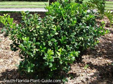 burfordii holly bushes
