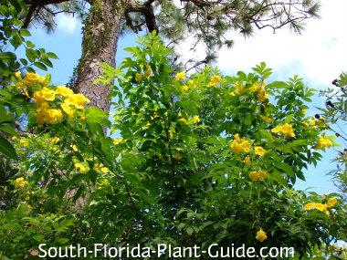 yellow elder in bloom