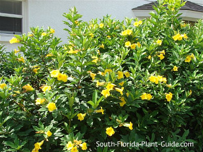 bush allamanda in full bloom