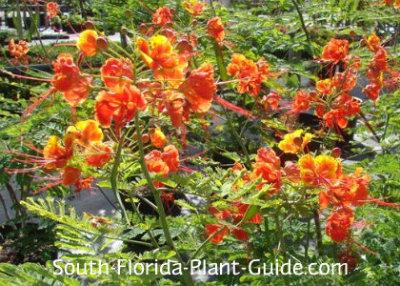 dwarf poinciana flower