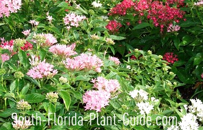 pink, white and red pentas