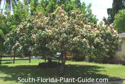 variegated mahoe tree pruned shorter