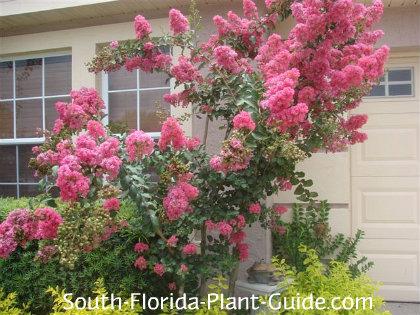 Tuscarora Pink crape myrtle in full bloom