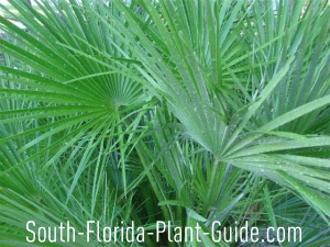 close-up of the leaves of European fan palm