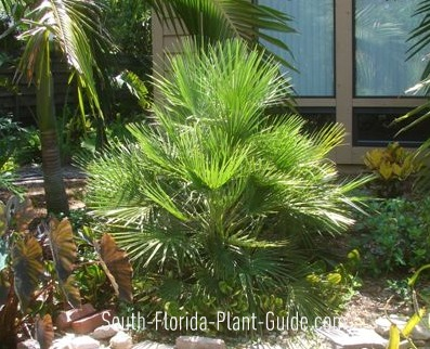Young European fan palm in a garden bed