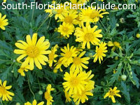Bush daisy's yellow flowers