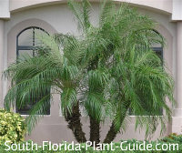 triple pygmy date palm