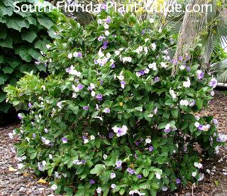 Large shrub in full bloom