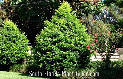 Holly Tree http://www.south-florida-plant-guide.com/accent-trees.html